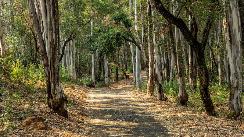 A landscape view of forest trails winding through tall, eucalyptus trees.